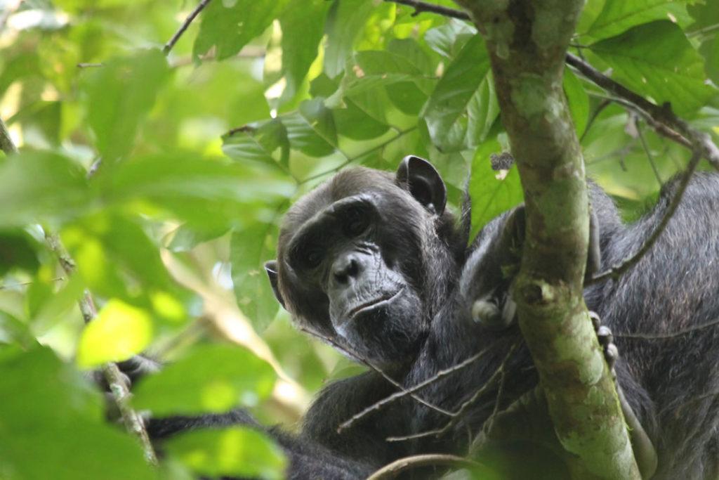Primate Tours Uganda