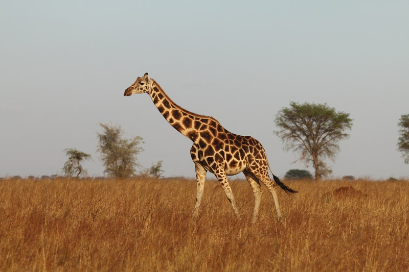giraffe at Murchison falls park