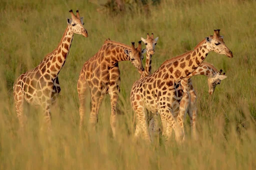 Uganda giraffes at Murchison Falls