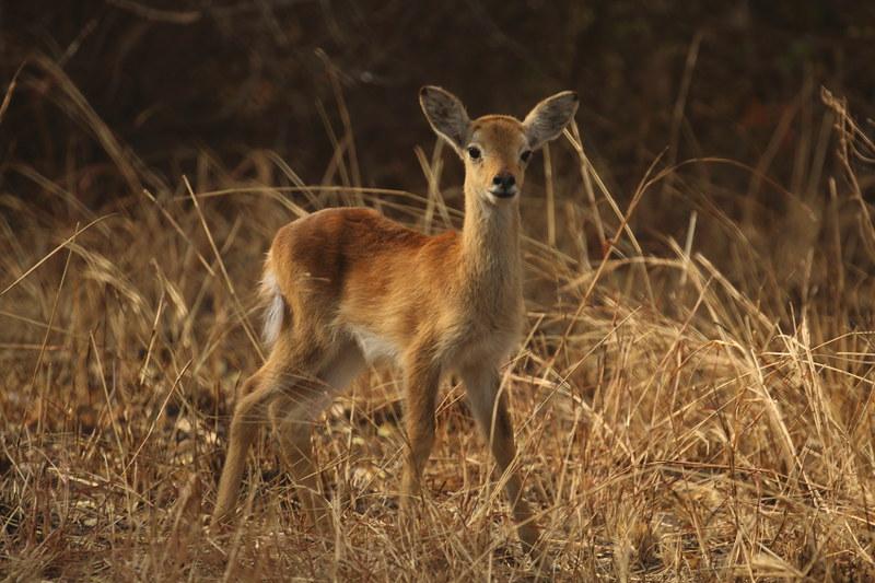 wildlife safari uganda kob