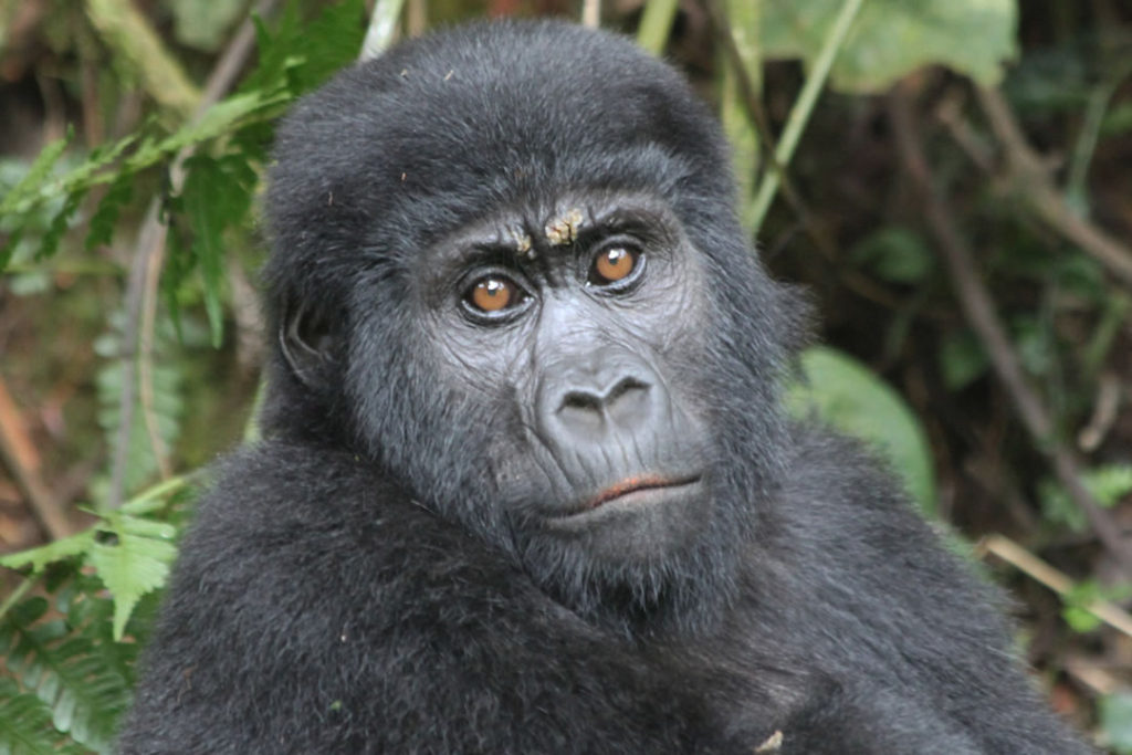 gorilla trekking Bwindi Uganda