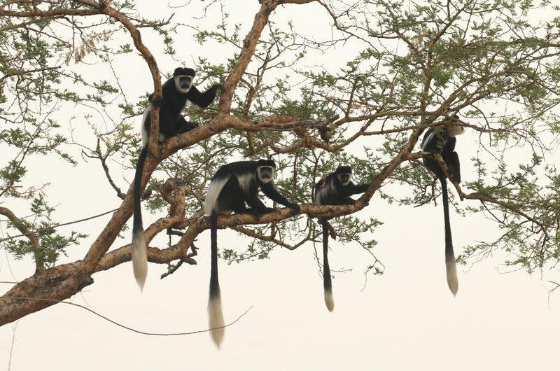 Primates of Uganda