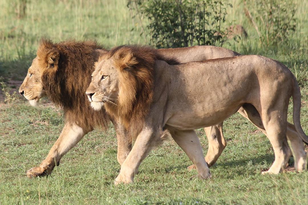 Uganda Wildlife Safari Tour