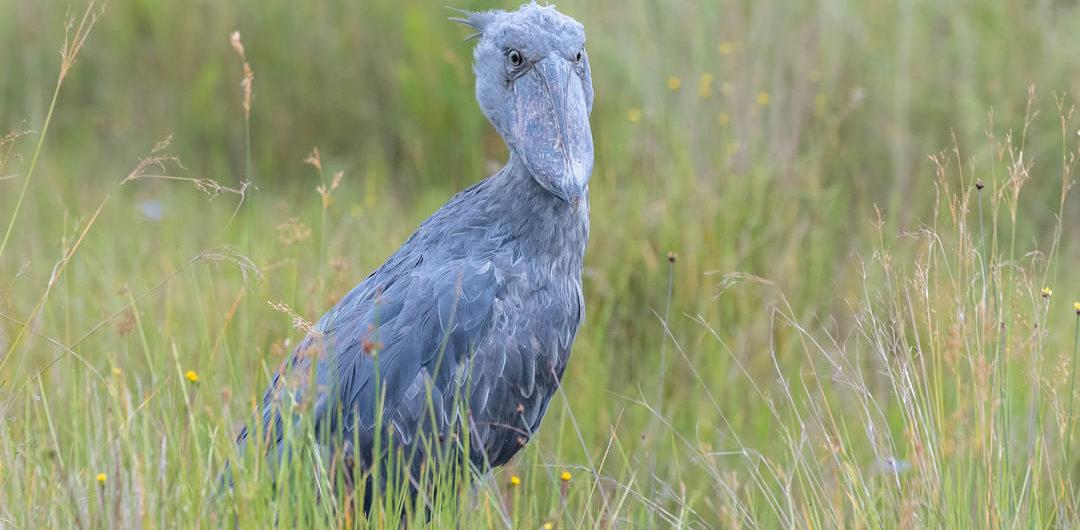 Birding tour at Mabamba in Uganda birding safaris