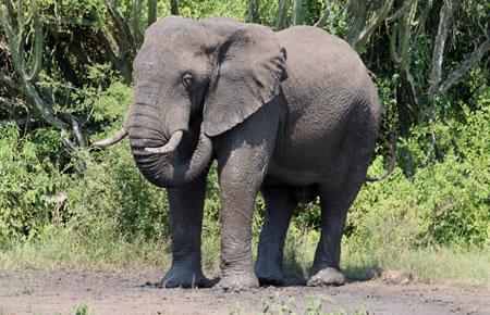 african elephant Uganda