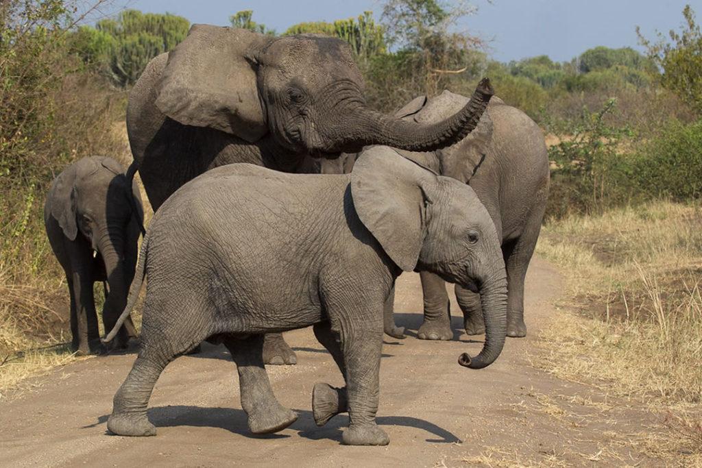 Kibale and Queen Elizabeth National ParksUganda Wildlife Safari