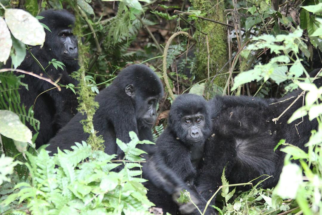 Uganda Rwanda Safaris