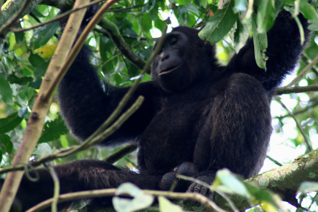 2 days chimpanzee tracking Kibale