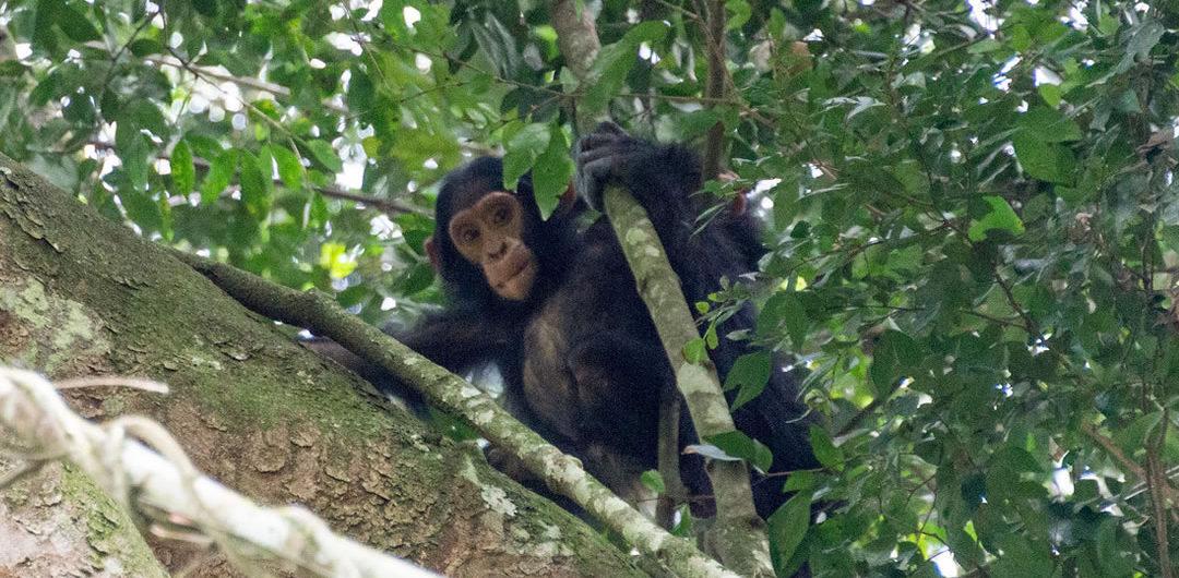 Uganda apes circuit safari tour