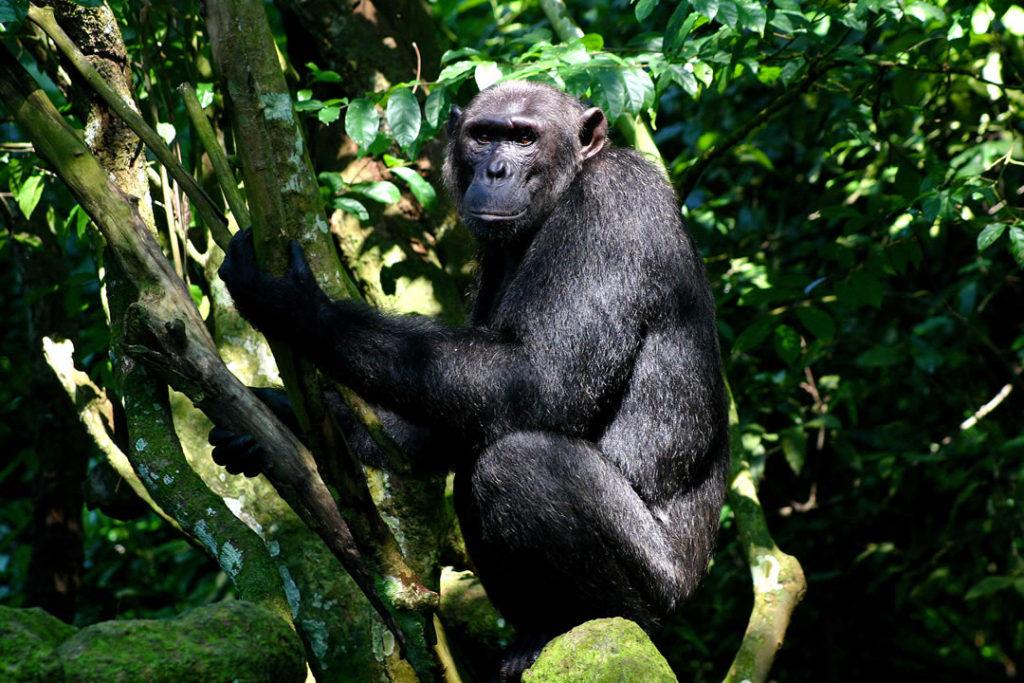 UgandaPrimate Watch safari ,wildlife safari