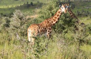 Giraffe Murchison falls