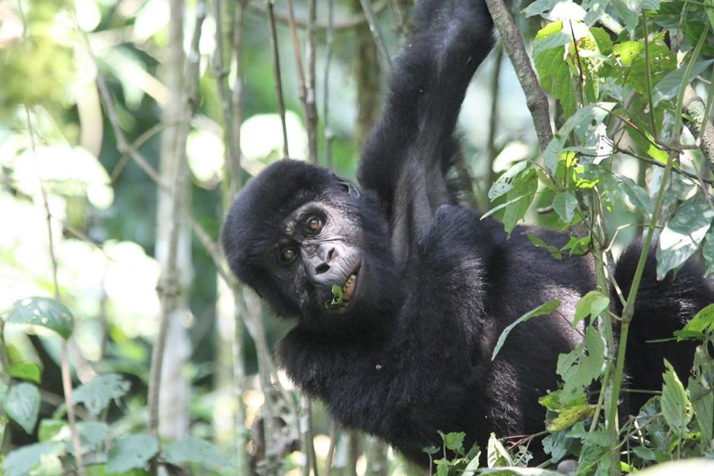 3 days gorilla flying safari