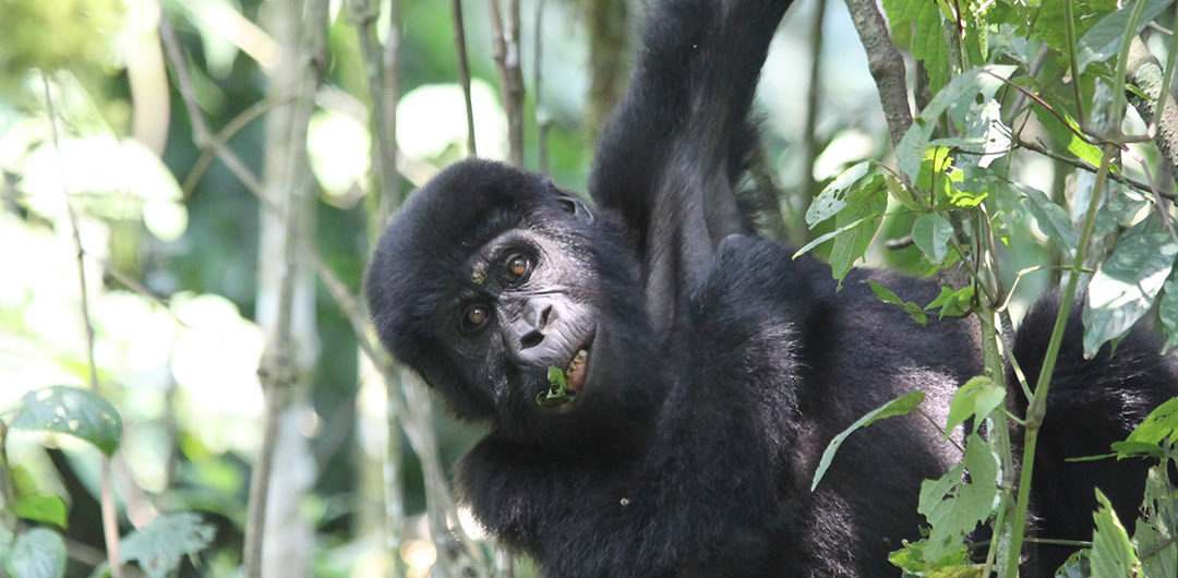 3 days gorilla flying safari