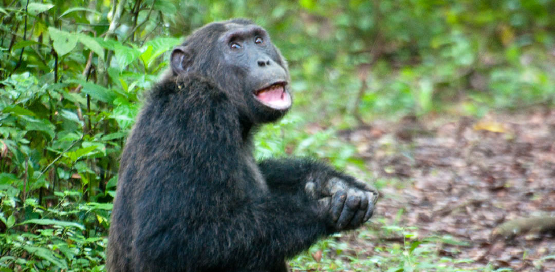 3 Days Chimpanzee Habituation Kibale