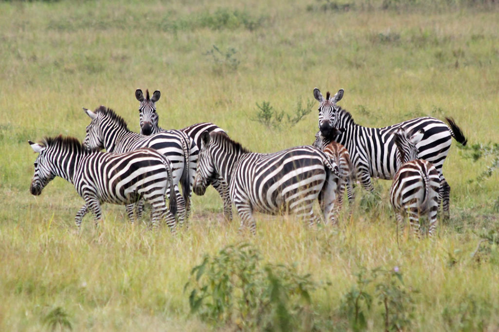 zebras lake mburo