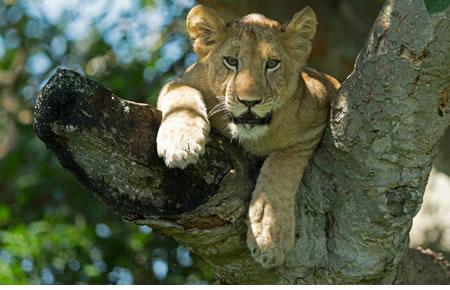 Climbing tree lions